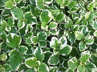 PLECTRANTHUS - Swedish Ivy Variegated Mint - 6 Plugs - Live Plants