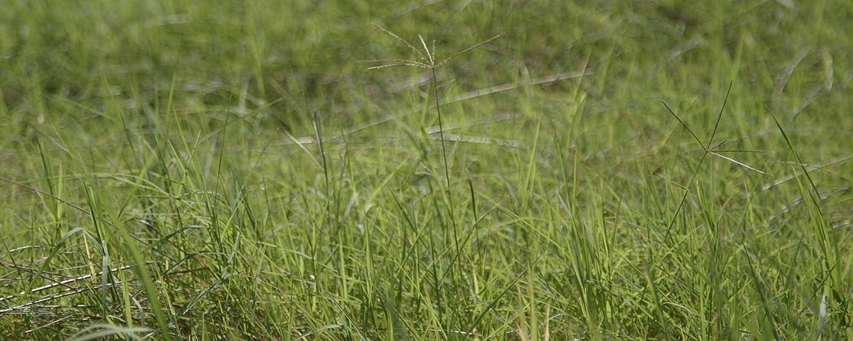 Somarac - Pennington Ranchero Memphis Ranking TOP9 Mall Frio LB 2 Bermuda Grass Seed