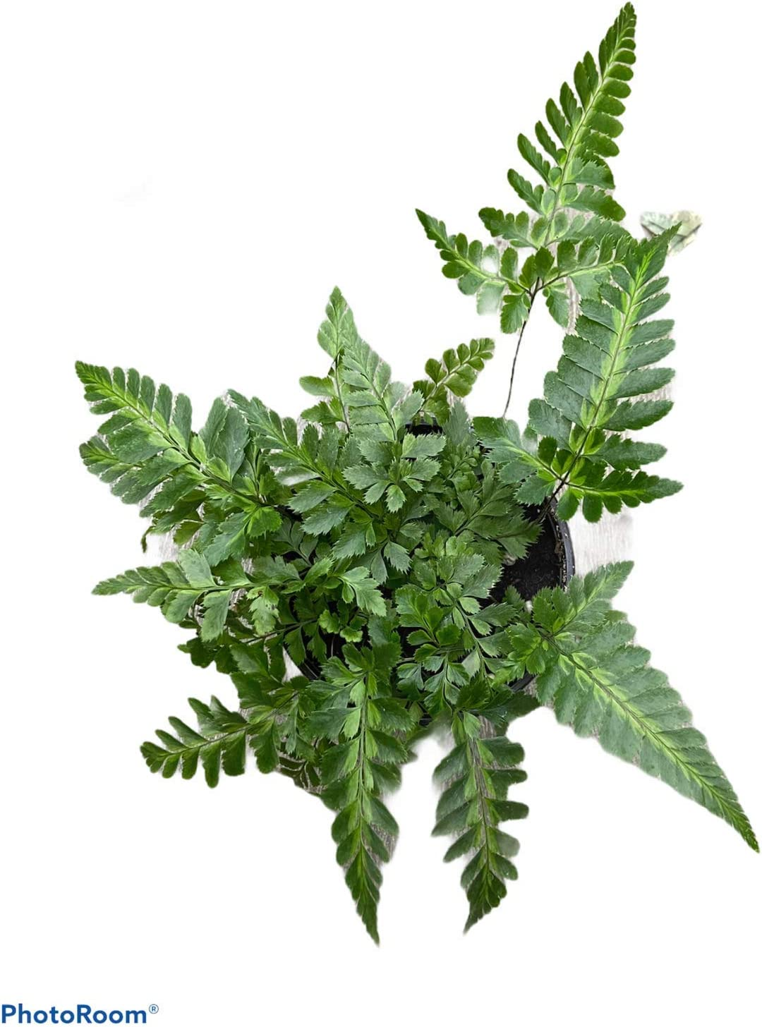 Fern - East List price Indian Max 47% OFF Pot Holly 4