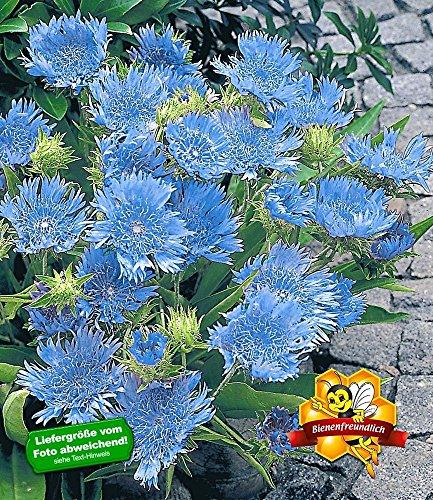 BALDUR-Garten Stokesia Kornblumenaster 'Blue Danube', 2 Pflanzen winterhart mehrjährige Staude
