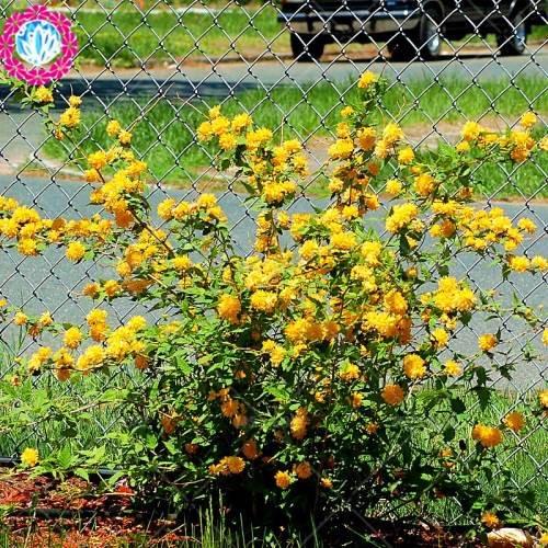 50 pcs escalade graines Rose Rouge japonaise. Rare graines Rose sementes. plante grimpante mur jardin de plantes vivaces à fleurs ornementales 5