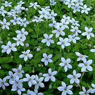 Hapk 30 Pcs Blue Star Creeper Seeds Ground Cover Perennial Flower Seeds Flowers