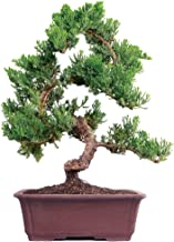 Brussel's Live Green Mound Juniper Outdoor Bonsai Tree - 7 Years Old; 14