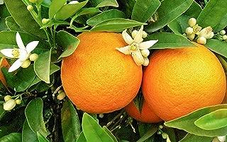 レモン スイートレモネード(手で皮がむけ、そのまま食べられる甘いレモン!人気品種!)【果樹挿し木苗9cmポット/2個セット】【ポット苗なので年中植付け可能!】【即出荷!プライム送料込み価格!】
