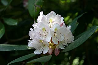 HOT - Rhododendron Maximum Rhododendron Seeds