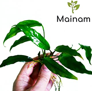 Mainam Anubias Nana Minima Live Aquarium Plants Rhizome Stems for Beginner Freshwater Aquatic Tank Decorations