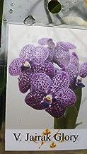 Orchid Vanda Jairak Glory BS Near Spike Exotic Tropical Plants