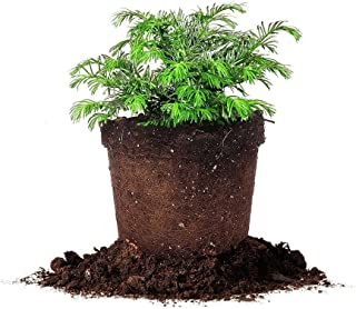 Cephalotaxus Spreading Yew - Size: 1 Gallon, Live Plant, Includes Special Blend Fertilizer & Planting Guide