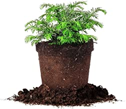 Spreading Yew - (1 Gallon) Live Plant, Includes Special Blend Fertilizer & Planting Guide
