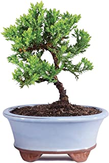 Brussel's Live Green Mound Juniper Outdoor Bonsai Tree - 3 Years Old; 4