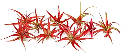 10 Live Air Plants   Bright Red Tillandsia Air Plant Pack   Colorful Indoor Plants   Real Houseplants   Easy Terrarium Decor Kit by Plants for Pets