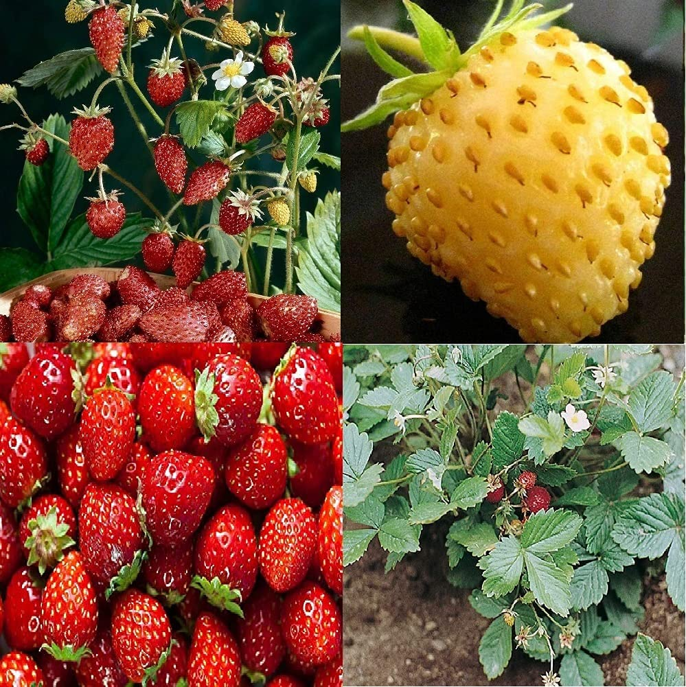 David's Garden Seeds Collection Set Fruit Great interest 7449QC Strawberry Red Sale SALE% OFF