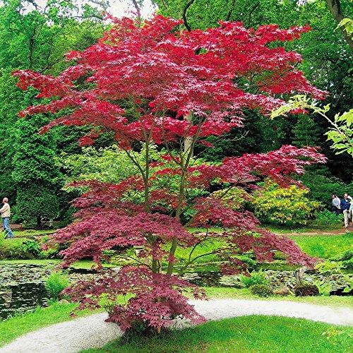 Japanese Acer palmatum Atropurpurea - 1 tree