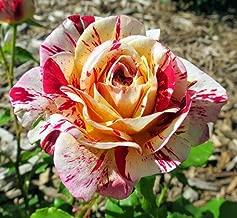 George Burns Floribunda Rose Bush - Bareroot