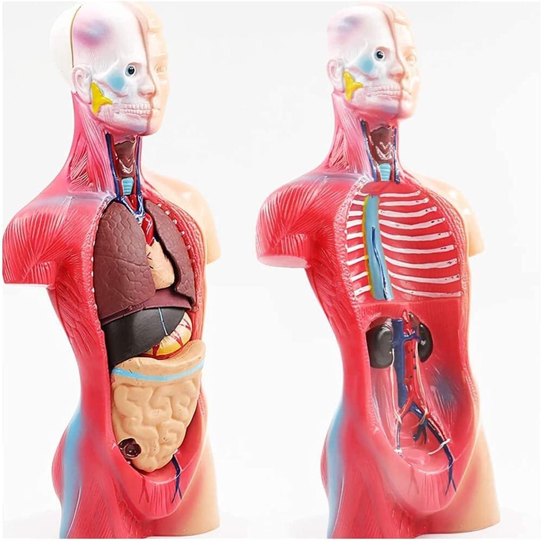 Human Body 100% Max 62% OFF quality warranty Torso Model Anatomy - 19 Structure Organ