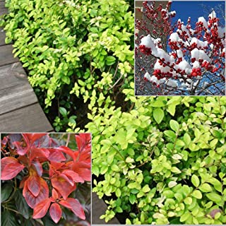100pcs Winterberry Holly Seed, Ilex Verticillata, Shrub Seeds - Evergreen Shrub with Glossy Green Foliage