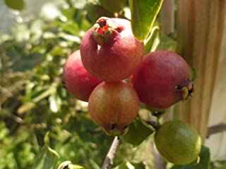 red cherry guava