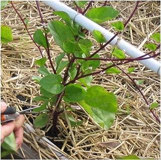 David's Garden Seeds Leafy Greens Spinach Malabar Red SL2437 (Purple) 200 Non-GMO, Open Pollinated Seeds