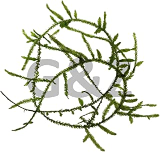 Java Moss (Taxiphyllum Barbieri) Live Aquarium Floating Plant by G&Z