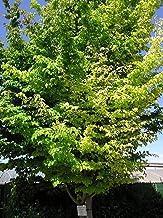 1 oz Seeds (Approx 567 Seeds) of Parrotia persica, Persian Parrotia, Persian Ironwood