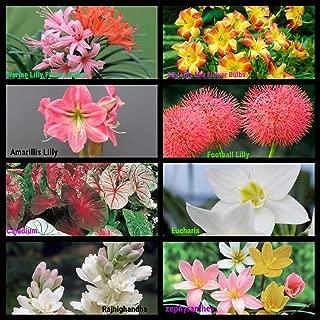 Flower Bulbs Sowing Pack Bloom Time Summers 2020Superb Flowers in Your Garden 8 Varieties by Kraft Seeds (Set of 8 Bulbs) (Pack of 3)