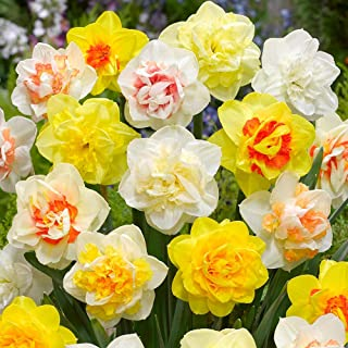 Daffodil, Narcissus Double Mix, (25 Bulbs) Top Size 14/16 cm. Shipping Now !