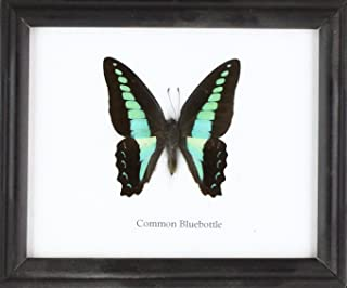 Insectfarm Framed Real Common Bluebottle Butterfly Collection Display Insect Taxidermy