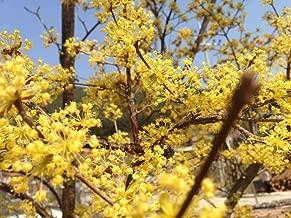 1 oz Seeds (Approx 200 Seeds) of Cornus officinalis, Japanese Cornelian Cherry, Japanese Cornelian Dogwood