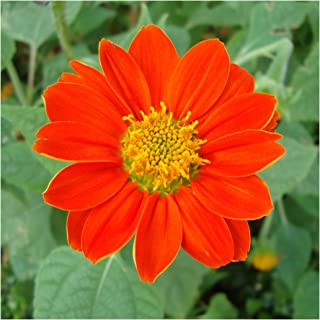 UtopiaSeeds Mexican Sunflower Seeds - Torch - Attracts Butterflies and Hummingbirds