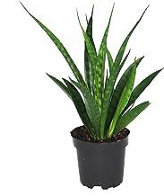 Sansevieria Kirkii Friends | Vrouwentong | Luchtreinigende kamerplant | Hoogte 35-40cm | Pot - Ø10,5cm