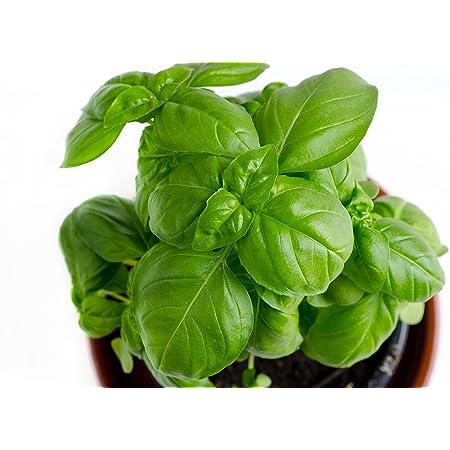 RDR Seeds Genovese Basil Seeds for Planting - Heirloom Non-GMO Sweet Basil Herb Seeds for Planting Indoor or Outdoor Herb Garden