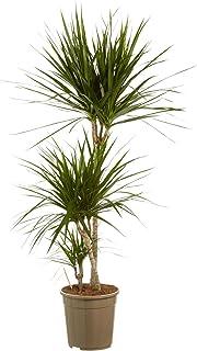 Planta de interior de Botanicly – Árbol dragón – Altura: 125 cm, 3 brotes – Dracaena Marginata