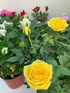 ROSAL MINI - Pack 6 Plantas + Sustrato Universal Ecológico 10 Litros -Rosal Pitimini- Flores de Jardín - Planta Viva - VIP...