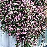 2x Clematis montana'Rubens' | Set di 2 piante rampicanti | Fiori rosa | Altezza 55-65 cm | Vaso Ø 15 cm