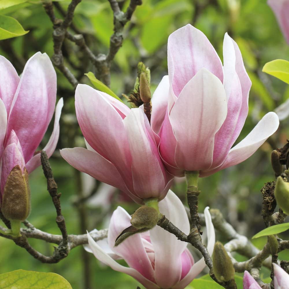 2 Bare Root Plants Thompson /& Morgan Magnolia Tree Outdoor Deciduous Garden Shrub for Patio Producing Pink Roses Soulangeana 2 or 4 x Bare Root Plants 1 Red Lucky