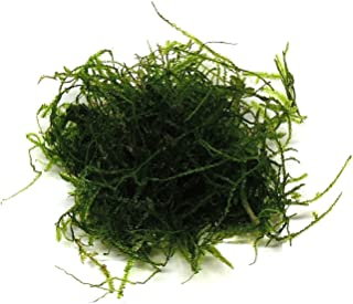 SubstrateSource Taxiphyllum barbieri
