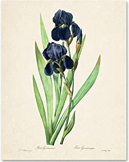 Iris Germanica Botanical Illustration - 11x14 Unframed Art Print - Makes a Great Bathroom and Bedroom Wall Decor Under $15