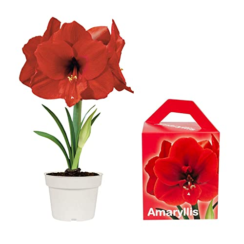 Special Amaryllis Grow Kit | Grow Your Own Beautiful Red Amaryllis Flower in A Few Weeks