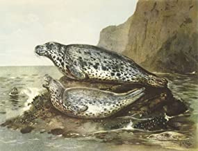 Nature in Britain 1946 Grey seals Poster Print by John Guille Millais (24 x 36)