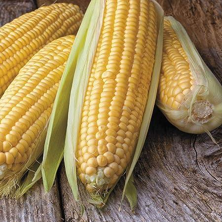300 Corn Honey /& Cream Seeds!