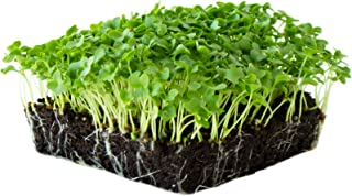 Best curly kale plant Reviews