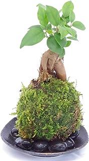 独特の樹形が人気【ガジュマルの苔玉・黒備前小器・敷石セット】 (敷石の色(黒石))