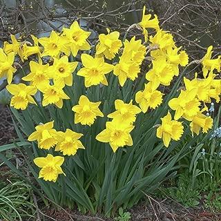 Van Zyverden Daffodils Dutch Master Set of 50 Bulbs