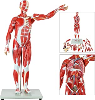Axis Scientific Human Muscle and Organ Model, 27-Part Half Life-Size Muscular Figure With Removable Organs and Muscle Anatomy, Includes Detailed Full Color Product Manual and Worry Free 3 Year Warranty