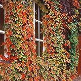 2X Parthenocissus tricuspidata Veitch Boskoop | Set of 2 Boston Ivy Vines | Climbing Plants | Height 55-65cm | Pot Ø 15cm
