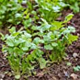 Amazon.es: cilantro