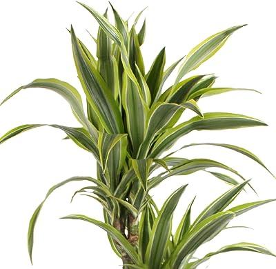 Indoor Plants Trees Dracaena Marginata Indoor Plants/Trees Dragon ...