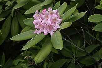 HOT - Rhododendron macrophyllum BIGLEAF Rhododendron Seeds