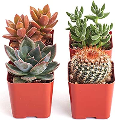 Shop Succulents | Cityscape Collection | Assortment of Hand Selected, Fully Rooted Live Indoor Succulent Plants in Arizona Desert Color Palette-Sedona, 4-Pack,