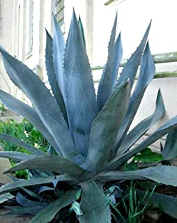 Agave Americana - Blue Agave - 2 Plants in Big Size